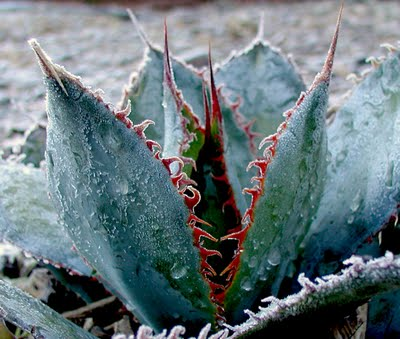 Some agaves are frost hardy